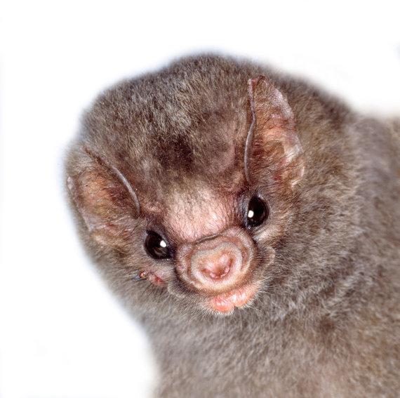 Vida Press nuotr./Diphylla ecaudata – šikšnosparnis, besimaitinantis ir žmogaus krauju