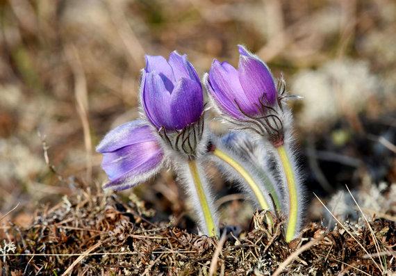 Selemono Paltanavičiaus nuotr. /Pavasario gražiausios gėlės – vėjalandės šilagėlės.