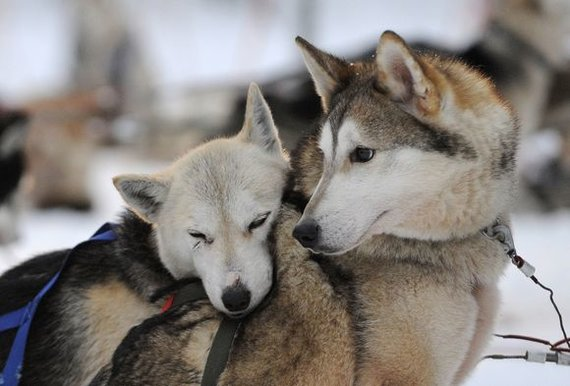"""AFP/""""Scanpix"""" nuotr./Po įtemptų varžybų Sibiro haskis ilsisi pasirėmęs į kitą šunį"""