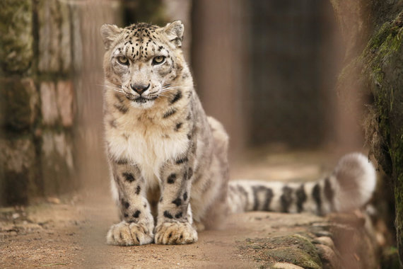 Eriko Ovčarenko / 15min nuotr./Snieginis leopardas