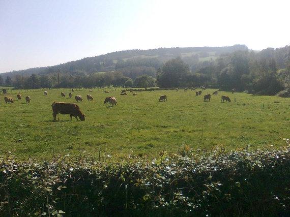 Karvių varpeliai