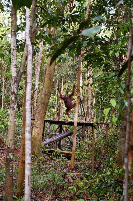 """Viktorijos Panovaitės nuotr./Pirmasis pamatytas orangutangas """"Tanjung harapan"""" poste"""