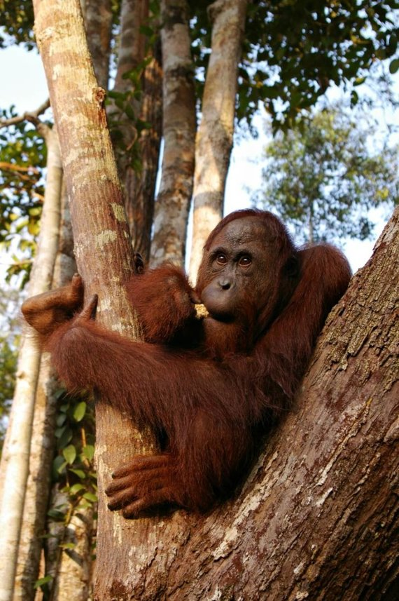 Viktorijos Panovaitės nuotr./Orangutangas