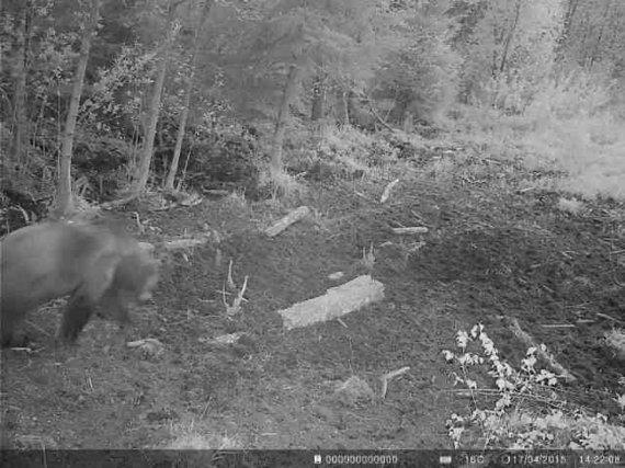 V.Maurico nuotr./Medžiotojų kameros įamžino į Vakarų Lietuvos miškus užklydusią mešką.