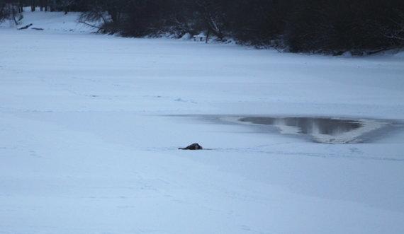15min nuotr./Ant ledo aptikta negyva stirna