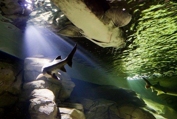 J. Andriejauskaitės / 15min nuotr./Iš pagrindų atnaujintas Lietuvos jūrų muziejaus akvariumas kviečia naujai pažinti povandeninį pasaulį.