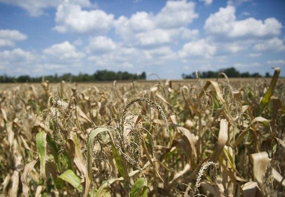 """AFP/""""Scanpix"""" nuotr./Kukurūzų laukas. Asociatyvinė nuotr."""