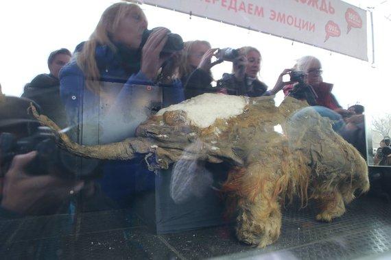 """""""Scanpix""""/"""" RIA Novosti"""" nuotr./Mamuto jauniklio kūnas meno muziejuje, Maskvoje."""