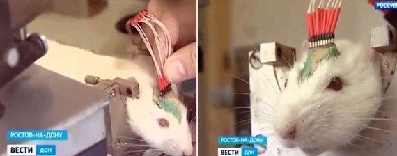 Kadras iš vaizdo medžiagos/Mokslininkų treniruojama žiurkė