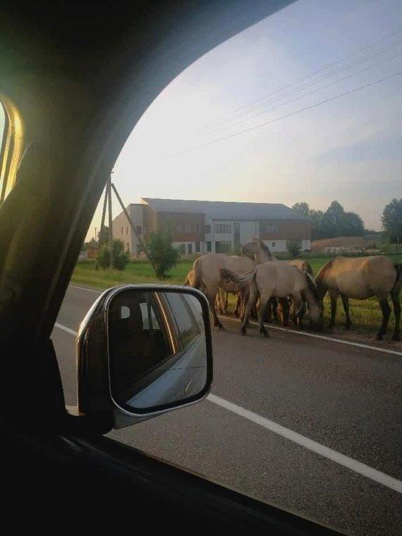 Ažulaukės gyventojų nuotr./Laisvai vaikštantis arkliai šalia Ažulaukės kaimo Vilniaus rajone