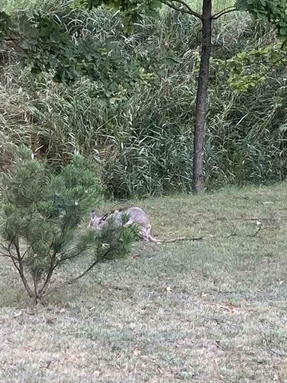 Į kiemą atslinkusi ligota lapė