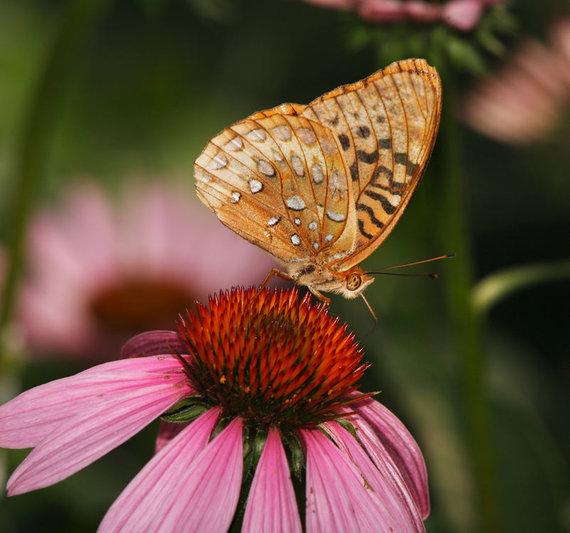Shutterstock nuotr./Ežiuolė ir drugelis