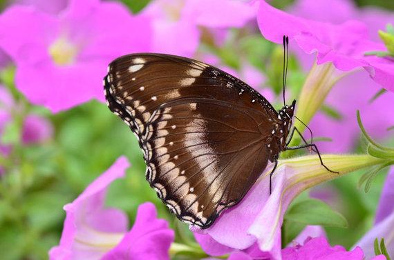 Shutterstock nuotr./Petunija ir drugelis