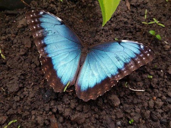 Mėlynasis morfas