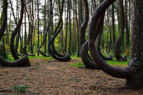 123rf.com nuotr./Kreivasis miškas Lenkijoje