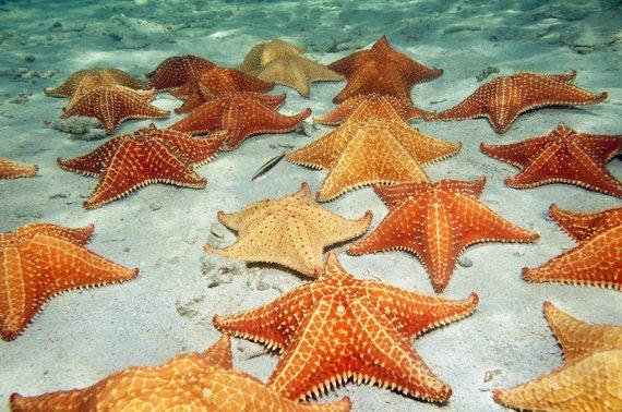 123rf.com nuotr./Jūros žvaigždės