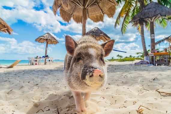 Shutterstock.com nuotr./Kiaulių paplūdimys, Bahamos