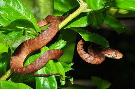 """""""Wikimedia Commons"""" nuotr./Rudoji medžių gyvatė"""