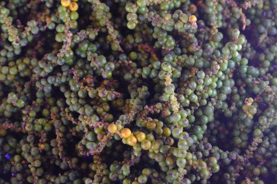 Ievos Bašarovienės nuotr./Šviežiai skintos žaliosios Kampot pipirų uogos yra naudojamos daugelyje patiekalų, ypač troškiniuose su jūros gėrybėmis