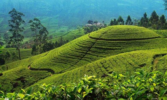 Shutterstock.com nuotr./Arbatos Plantacijos Šri Lankoje