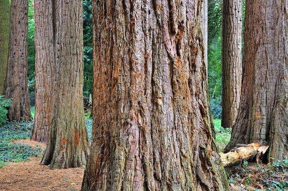 Sequoiafarm nuotr./Kaldenkirchen sekvojų ferma, Vokietija