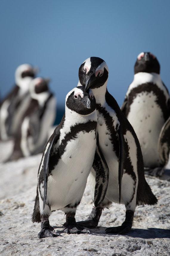 123rf.com nuotr./Afrikos pingvinai PAR