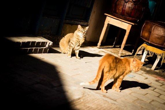P.Girdziušo nuotr./Saviros katinai