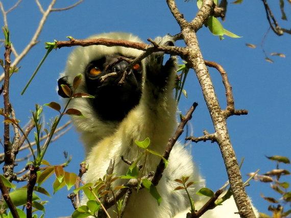 Travel Planet nuotr./Madagaskaras, Ranomafano parko lemūras