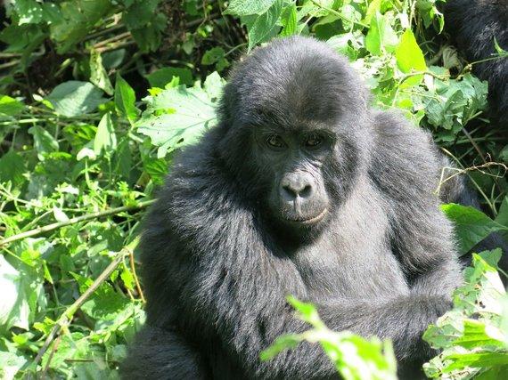 Travel Planet nuotr./Uganda, gorila Bvindi parke