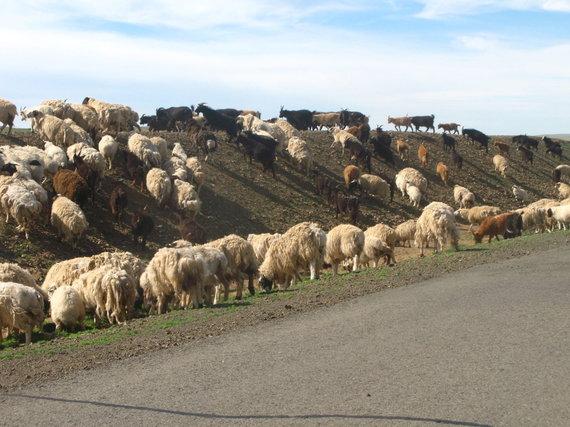 G.Juocevičiūtės nuotr./Per kelią migruojanti gyvulių banda – įprastas vaizdas Mongolijoje