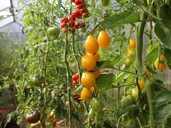 Linos Liubertaitės nuotr./Pomidorai 'Medovaja kaplia'