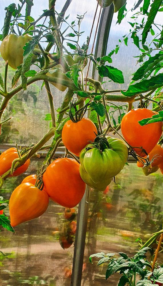 Asmeninio archyvo nuotr. /Pomidorai