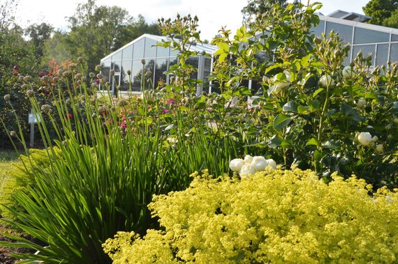 VDU botanikos sodo nuotr. /Rožynas. Rožė 'Artemis' su rasakila Alchemilla epipsila ir česnaku Allium 'Summer Beauty