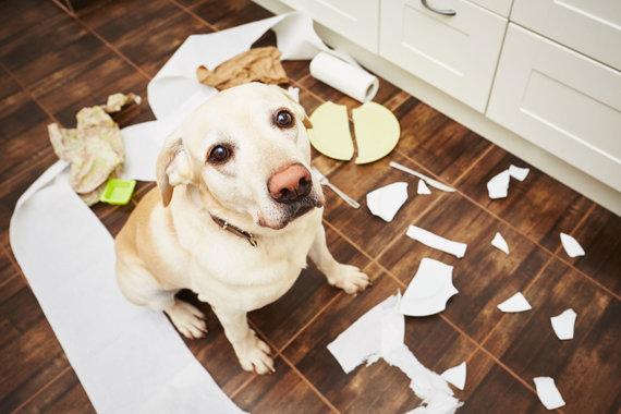 """Nuobodžiaujantis namie šuo padarė savo """"tvarką"""" / 123rf nuotr."""
