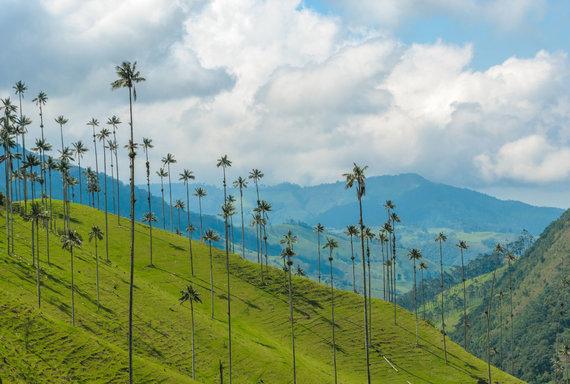 Vida Press nuotr./Aukščiausios palmės pasaulyje auga Kokoros slėnyje Kolumbijoje