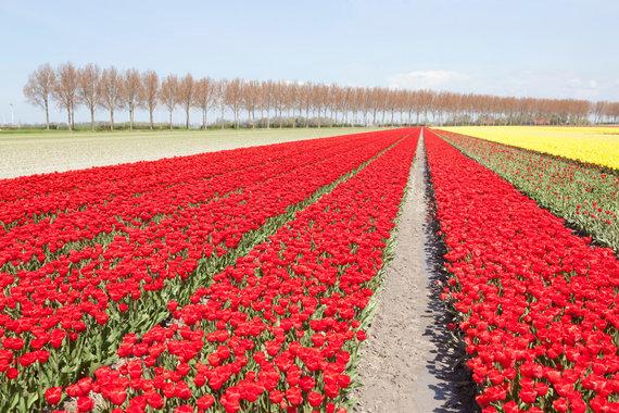 Vida Press nuotr./Tulpių laukai Šiaurės Rytų polderiai, Nyderlanduose