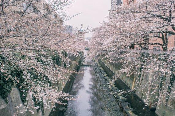 """""""Scanpix""""/""""Sipa USA"""" nuotr./Sakurų žiedai Tokijo gatvėse"""
