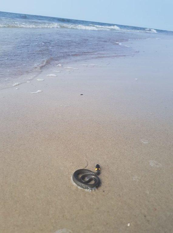 Lolitos Venckutės nuotr./Karklės paplūdimyje užfiksuotas žaltys