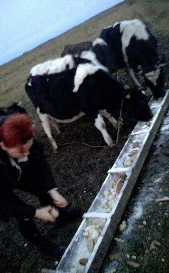 """VšĮ """"Gyvūnų užuovėja"""" nuotr./Gyvūnų gelbėtojai susirūpino Šilutės rajono laukuose aptiktais galvijais"""
