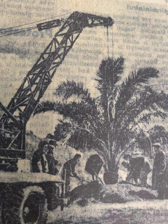 """Ugniaus Antanavičiaus nuotr./Palmė Jaunimo sode 1952 m., perfotografuota iš tų metų """"Tiesos"""" laikraščio, orig. nuotraukos autorius J.Kacenbergas"""
