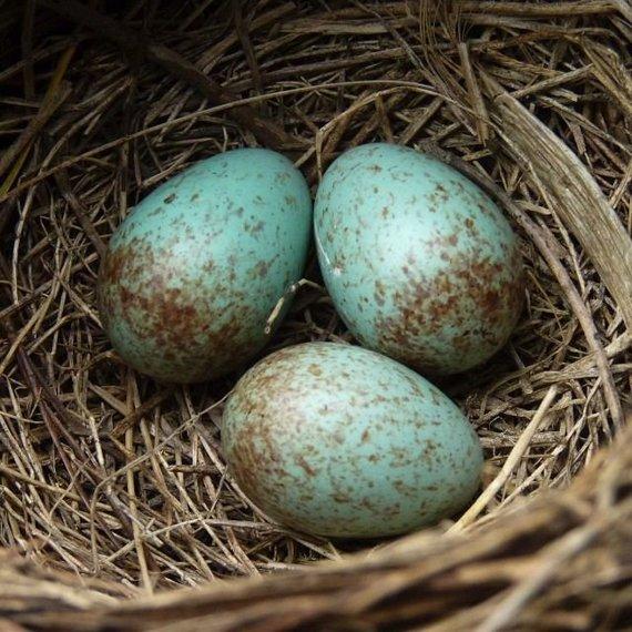 Juodojo strazdo kiaušiniai