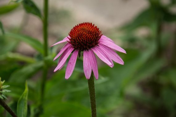 Asmeninio archyvo nuotr. /Rausvažiedė ežiuolė (Echinacea purpurea L.)