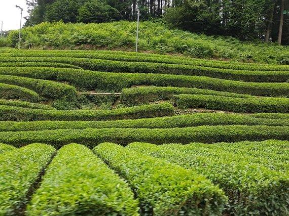 Asmeninio albumo nuotr./Žaliosios arbatos laukai Japonijoje