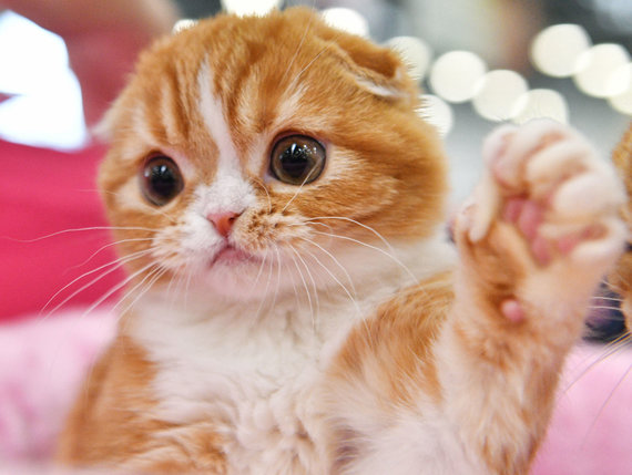 Sputnik nuotr./Škotų nulėpausė katė