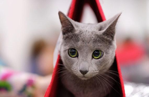 Sputnik nuotr./Rusų melsvoji katė