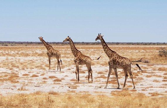 """Kelionių organizatoriaus """"GRŪDA"""" nuotr./Etošos nacionalinis parkas, Namibija"""