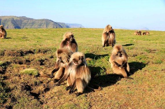 """Kelionių organizatoriaus """"GRŪDA"""" nuotr./Gelada babuinai Simieno kalnų nacionaliniame parke, Etiopijoje"""