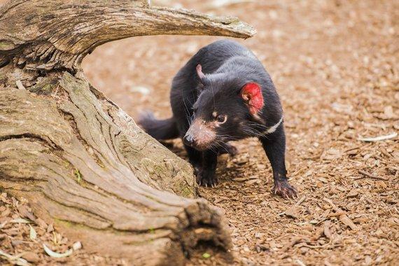 Shutterstock nuotr./Tasmanijos velnias, Tasmanija