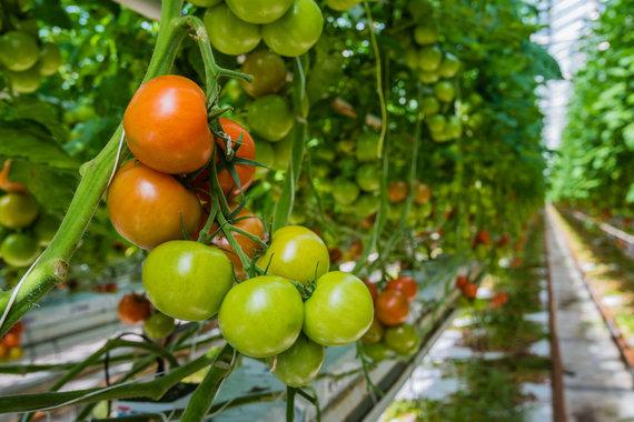 123RF.com nuotr./Pomidorai šiltnamyje