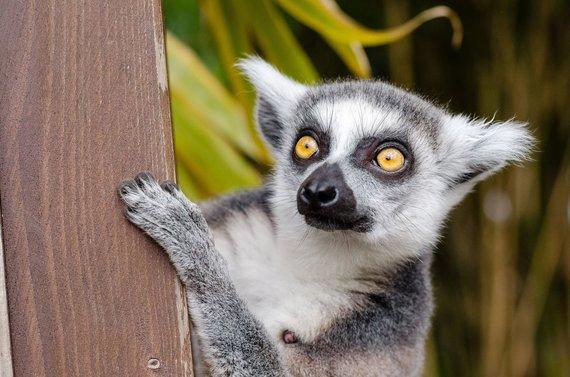"""Kelionių organizatoriaus """"GRŪDA"""" nuotr. /Madagaskaro gyvūnas – lemūras"""